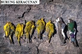 Burung Keracunan