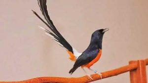 Cara Pengkrodongan Burung