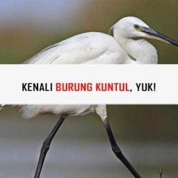 Burung Kuntul